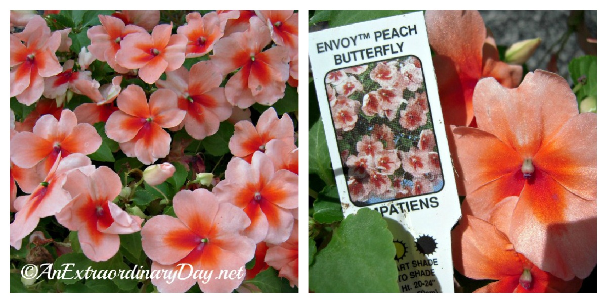 Envoy (TM) Peach Butterfly Impatiens