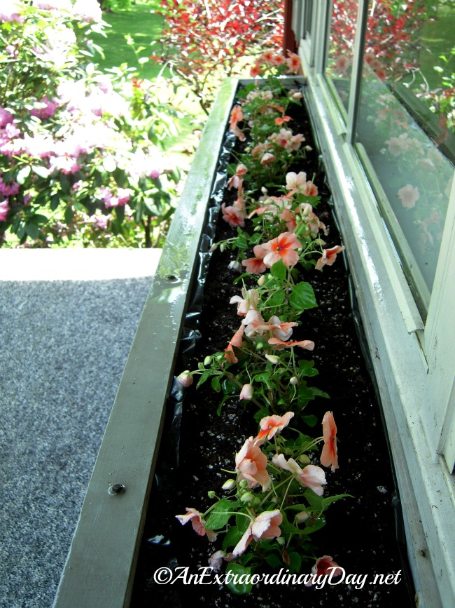Filled window box. In a few weeks it will be overflowing with blooms.
