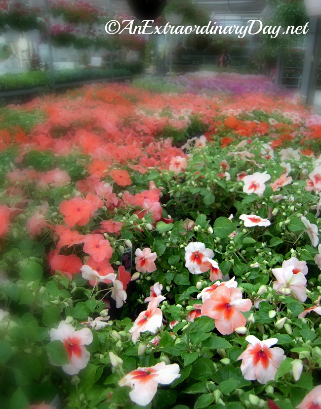 Flats of Impatiens :: AnExtraordinaryDay.net