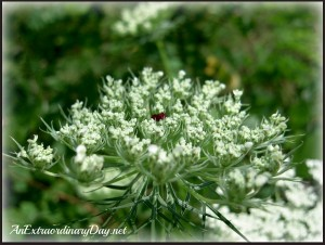 Earth's Laughter {Queen Anne's Lace}