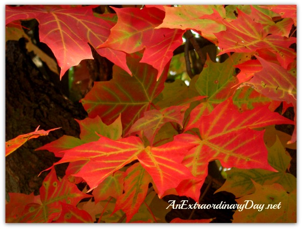 AnExtraordinaryDay.net | Framed | DIY Fall Maple Leaf Wall Display | Red Maple Leaves