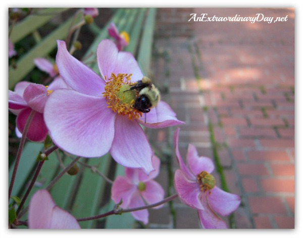 AnExtraordinaryDay.net | Fall Garden Plants | Japanese Anemones & Bumble Bee