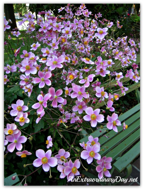 AnExtraordinaryDay.net | Fall Perennial Selection for the home garden |Japanese (Fall) Anemones