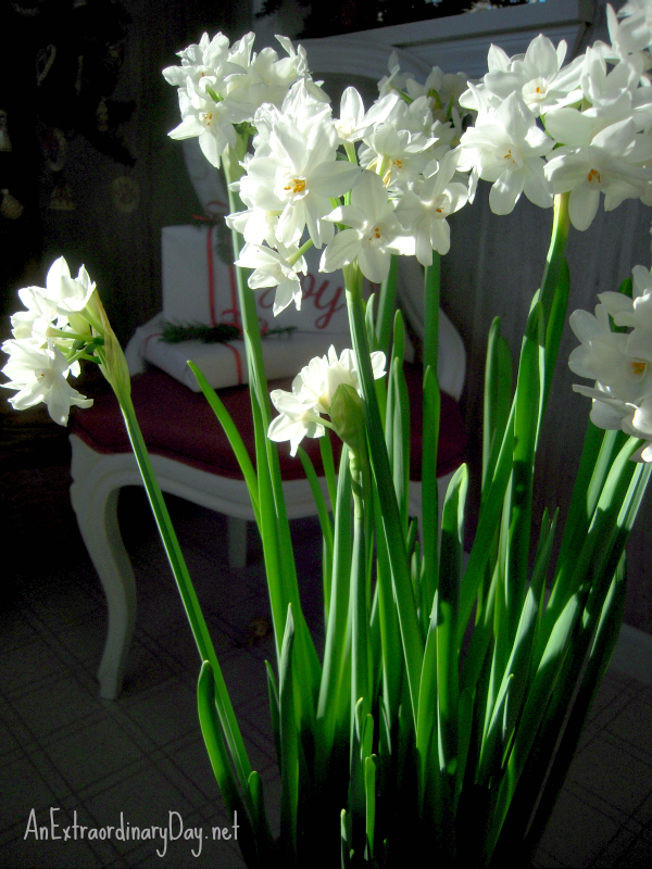 How to Plant and Grow Paperwhites ~ A Tutorial :: #Christmas #Paperwhites #NaturalHolidayDecor :: AnExtraordinaryDay.net