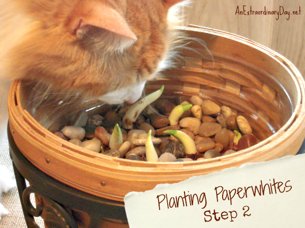 Step 2 - tutorial for planting paperwhites