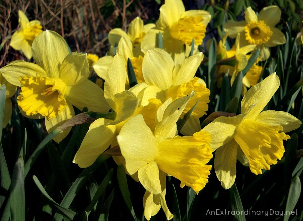 Daffodils Quote :: Beautiful up close photo of Daffodils :: AnExtraordinaryDay.net
