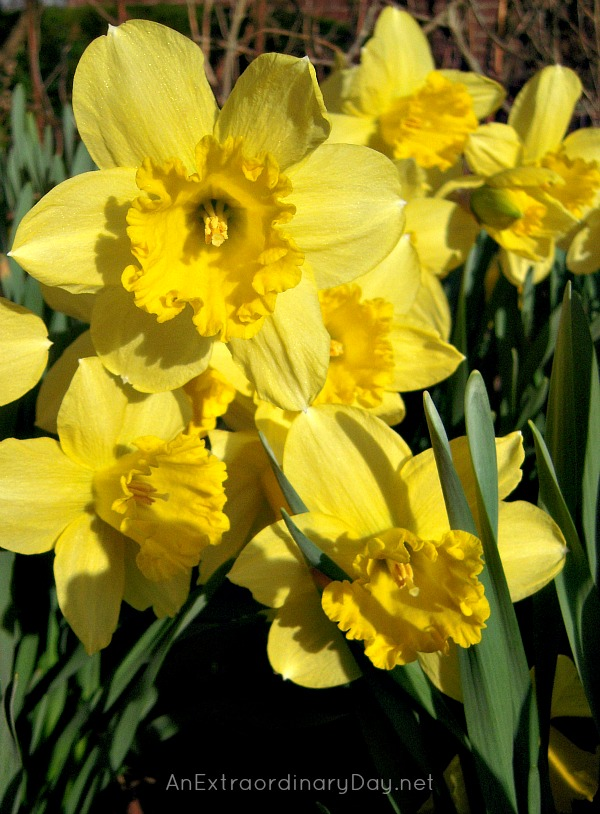 Ruffled Yellow Daffodils Photo :: AnExtraordinaryDay.net