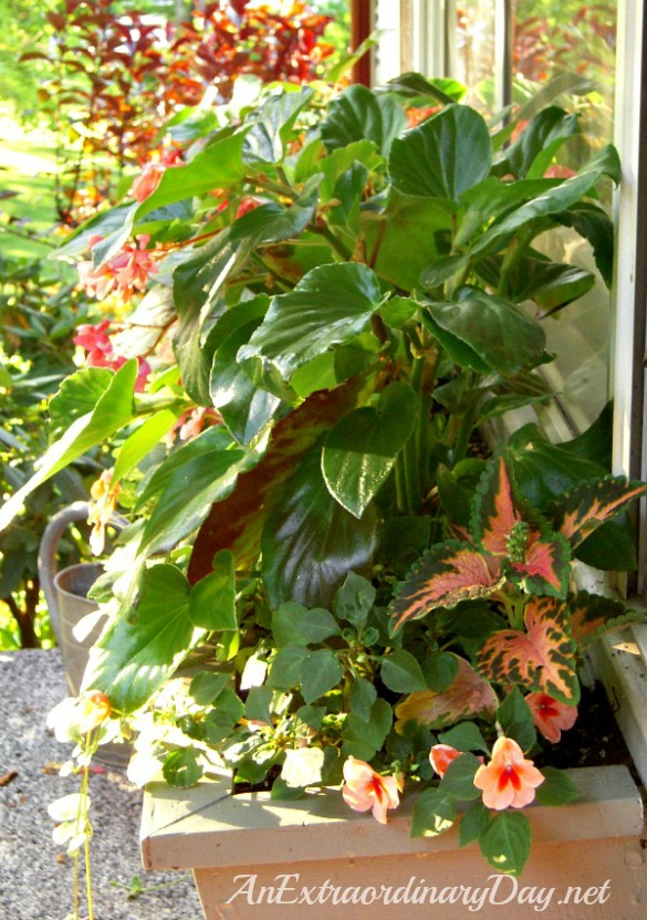 How to plant a window box garden - Dragon Wing Begonias :: AnExtraordinaryDay.net