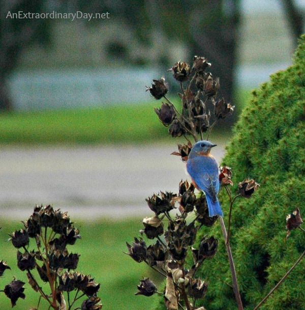 #Bluebirds  #Grace :: The Case of Ruffle Feathers :: AnExtraordinaryDay.net