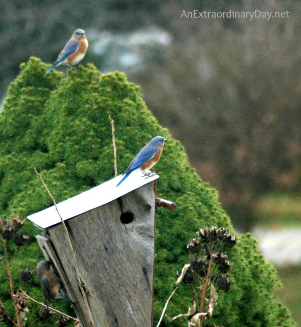 #Bluebirds :: Ruffled Feathers ::  #Grace :: AnExtraordinaryDay.net