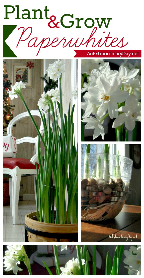 AnExtraordinaryDay.net :: #ForcingPaperwhites #PaperwhitesTutorial :: How to plant and grow Paperwhites ~ Tutorial :: #ChristmasDecor