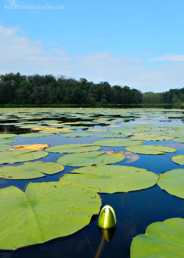 Inspirational about Faith :: AnExtraordinaryDay.net :: Photo of lily pads :: #faith #waterlilies