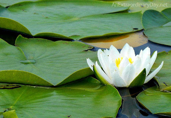 #Waterlily #lilypads #faith