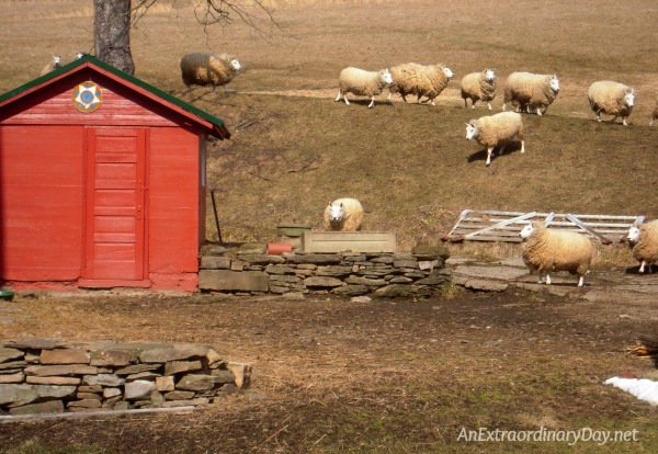 My sheep listen to me and I know them (John 10:27) | Farm sheep