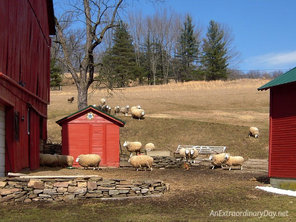 My sheep listen to my voice; I know them, and they follow me. (John 10:27) | Sheep on the way to the barn.