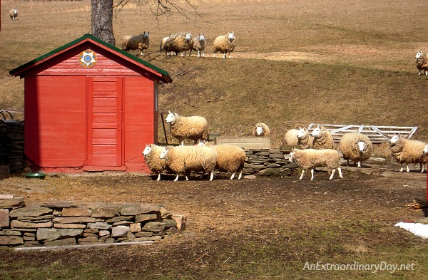My sheep listen to my voice; I know them, and they follow me. (John 10:27) | Barn yard filled with fluffy sheep.