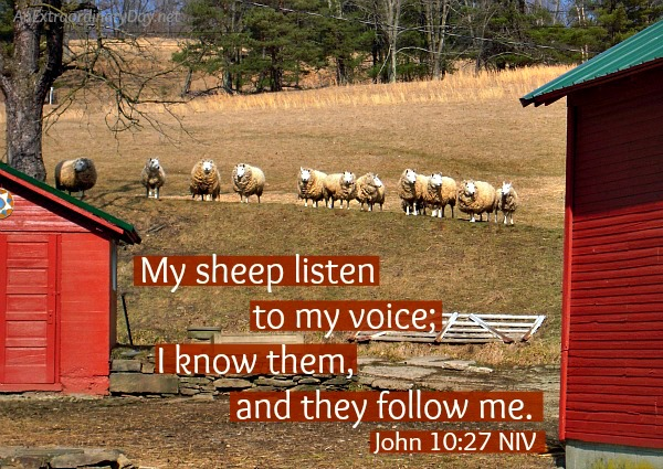 My sheep listen to my voice and l know them - scripture graphic