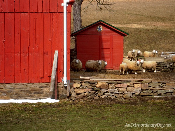 My sheep listen to my voice (John 10:27) | Inquisitive sheep