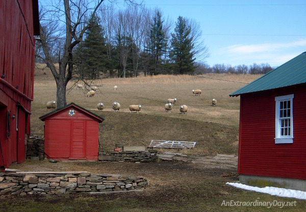 My sheep listen to my voice. | Sheep on the hillside on a PA farm.