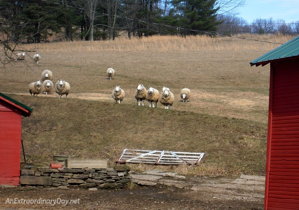 My sheep listen to my voice. | Wonder what these sheep find so interesting?