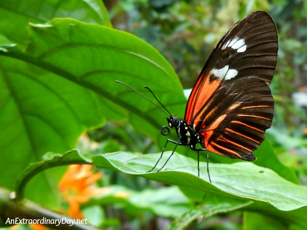 How to Glorify God with Butterfly Wings. | Small Postman Butterfly