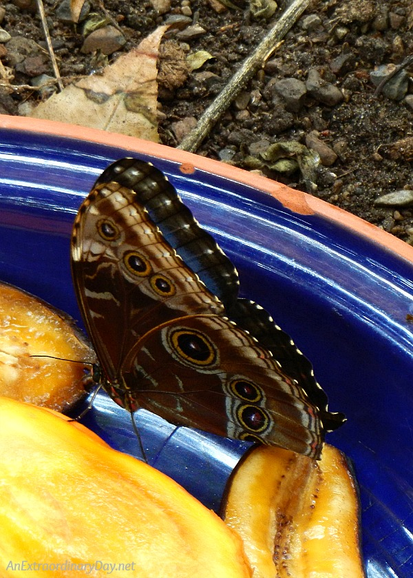 How to glorify God butterfly wings. | Common Morpho