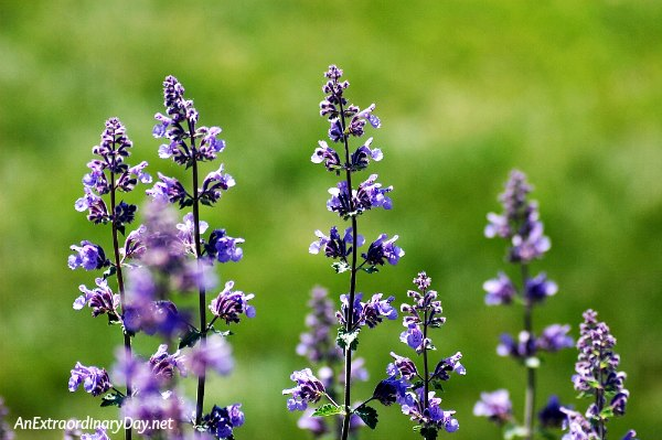Catmint flowers - Devotional from AnExtraordinaryDay - There are no accidents - Jesus is our guide