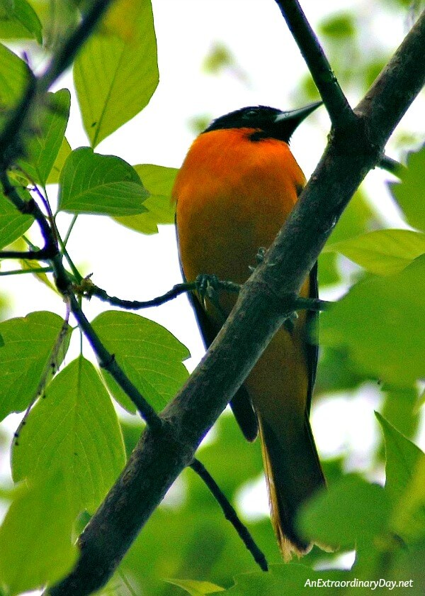 Baltimore Oriole In a week filled with vitriol and gall. Anger and hate. Worry and distress. Will anyone be surprised by an extraordinary love? Devotional meditation at AnExtraordinaryDay.net
