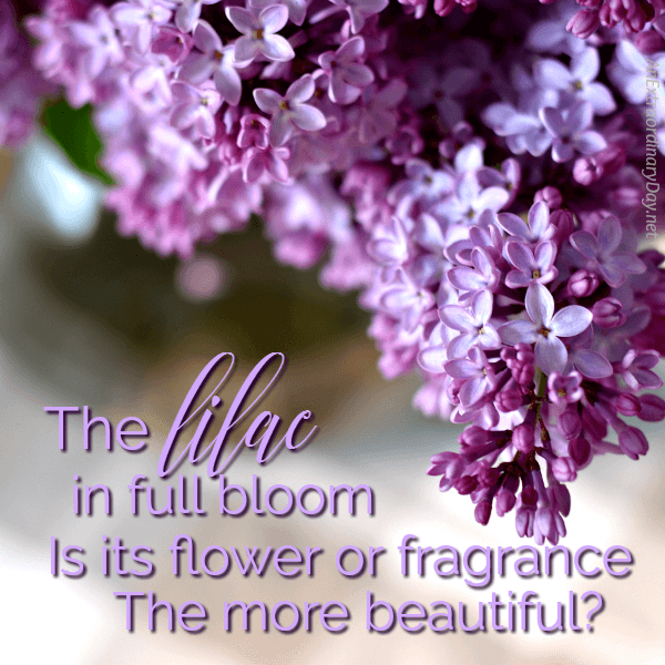 The lilac in full bloom Is its flower or fragrance the more beautiful