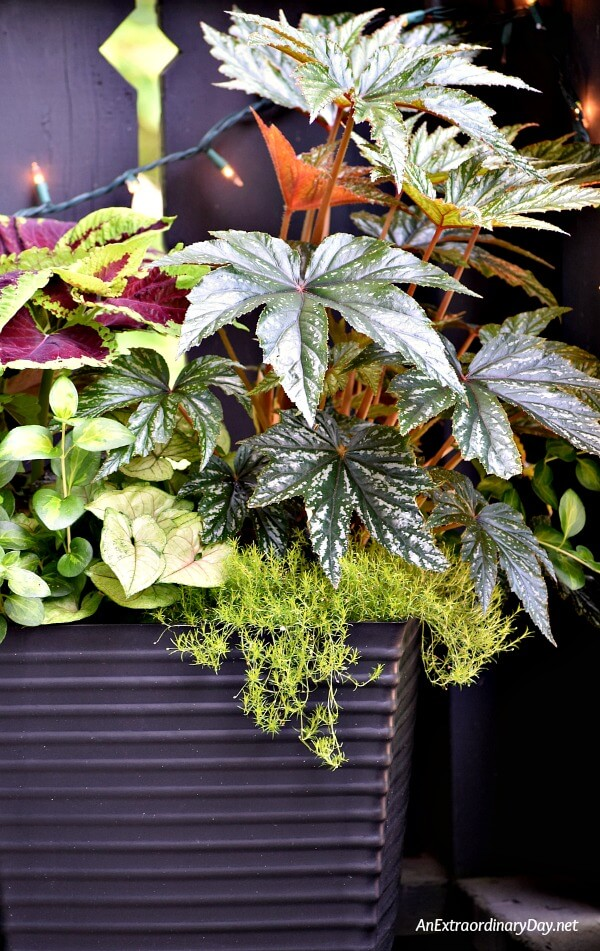 I LOVE this container garden filled with a Goliath Coleus and a Belgonia that steal the stage from the lesser plants below - Small Space Gardening