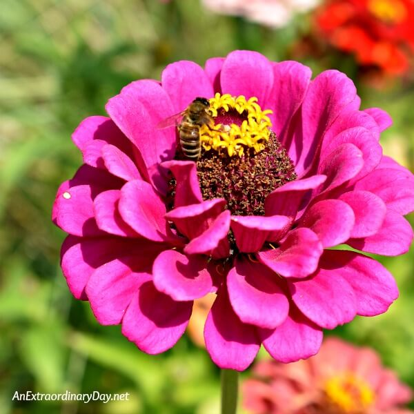 Pretty Zinnia with Honey Bee | My Reach for Perfection and the Book, So Close to Amazing