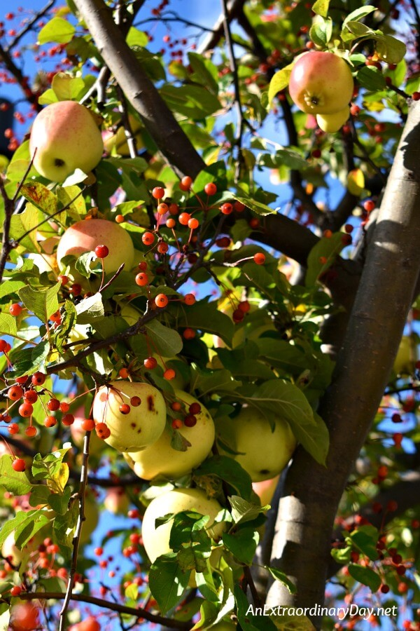Beautiful Apples - The apple of your eye