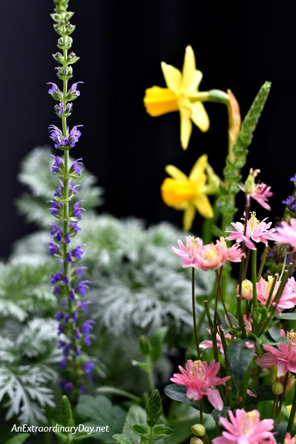 Blue Salvia, Pink Columbine, Yellow Daffodils, Silver Artemisia in a Spring Container Garden - AnExtraordinaryDay.net